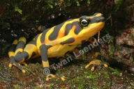 Variable Harlequin Toad