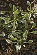 Hesperevax sparsiflora