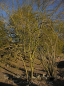 Yellow Paloverde