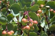 Arctostaphylos mewukka ssp. truei