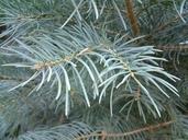 Abies concolor ssp. concolor