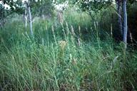 Agastache foeniculum