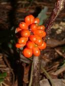 Arisaema triphyllum ssp. triphyllum