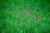 Astragalus bisulcatus