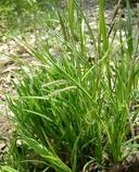 Carex lenticularis