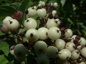 Cornus sericea ssp. sericea