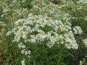 Doellingeria umbellata var. umbellata (P. Mill.) Nees (=Aster umbellatus P. Mill. var. umbellatus) aster à ombelles [Flat-topped white aster]