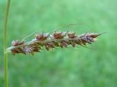 Echinochloa muricata