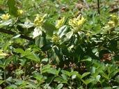 Euonymus fortunei