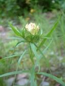 Euthamia graminifolia var. graminifolia