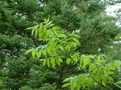 Fraxinus nigra Marsh. frêne noir [Black ash]
