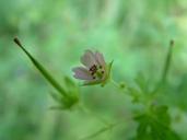 Geranium bicknellii