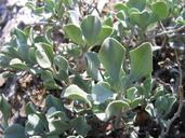 Salvia dorrii var. clokeyi