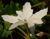 Geranium sp.