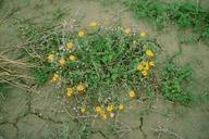 Heterotheca villosa var. villosa