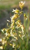 Anthoxanthum nitens ssp. nitens