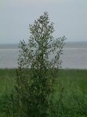 Lactuca canadensis