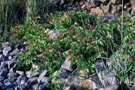 Lathyrus venosus