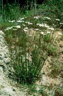Leucanthemum vulgare