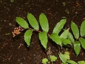 Maianthemum racemosum ssp. racemosum