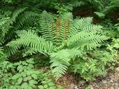 Osmunda cinnamomea L. osmonde cannelle [Cinnamon fern]