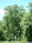 Populus grandidentata