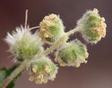 Ambrosia eriocentra