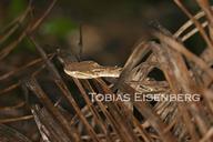 "<strong>Location:</strong> Golfito, Costa Rica<br /><strong>Author:</strong> <a href=""http://calphotos.berkeley.edu/cgi/photographer_query?where-name_full=Tobias+Eisenberg&one=T"">Tobias Eisenberg</a>"