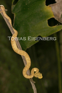 "<strong>Location:</strong> Cahuita, Costa Rica<br /><strong>Author:</strong> <a href=""http://calphotos.berkeley.edu/cgi/photographer_query?where-name_full=Tobias+Eisenberg&one=T"">Tobias Eisenberg</a>"