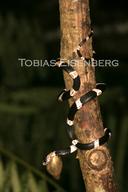 "<strong>Location:</strong> Cahuita, Costa Rica<br /><strong>Author:</strong> <a href=""http://calphotos.berkeley.edu/cgi/photographer_query?where-name_full=Tobias+Eisenberg&one=T"">Tobias Eisenberg</a>"