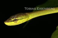 "<strong>Location:</strong> Guayacán, Costa Rica<br /><strong>Author:</strong> <a href=""http://calphotos.berkeley.edu/cgi/photographer_query?where-name_full=Tobias+Eisenberg&one=T"">Tobias Eisenberg</a>"