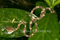 "<strong>Location:</strong> Guaria, Heredia, Costa Rica (Selva Verde Lodge)<br /><strong>Author:</strong> <a href=""http://calphotos.berkeley.edu/cgi/photographer_query?where-name_full=Tobias+Eisenberg&one=T"">Tobias Eisenberg</a>"