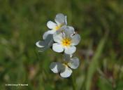 Plagiobothrys glyptocarpus
