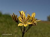 Triteleia ixioides
