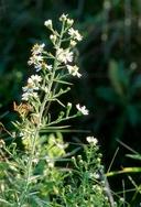 Symphyotrichum ericoides var. pansum