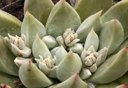 Dudleya abramsii ssp. affinis