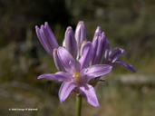 Dichelostemma multiflorum