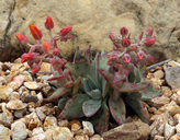 Dudleya cymosa ssp. pumila