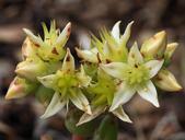 Dudleya virens ssp. hassei