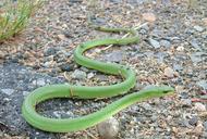 Lichlorophis vernalis (=Opheodrys vernalis (Harlan, 1827)) couleuvre verte [Smooth green snake]