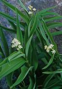 Maianthemum stellatum