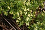 Galium californicum ssp. miguelense