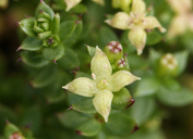 Galium californicum var. californicum
