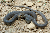 Coluber constrictor constrictor