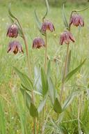 Fritillaria affinis var. affinis