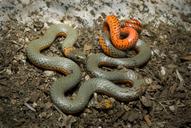 Diadophis punctatus pulchellus