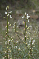 Astragalus congdonii