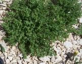 Herniaria hirsuta ssp. cinerea