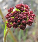 Lomatium marginatum var. purpureum