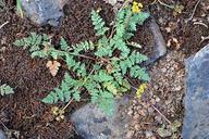 Lomatium hendersonii